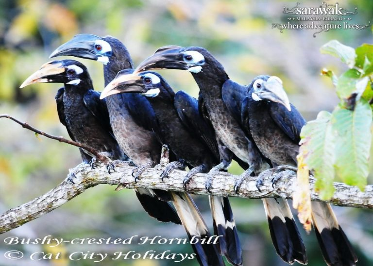 4-Sarawak-Borneo-Adventure-Miri-Lambir-Hills-Bushy-crested-Hornbill